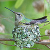 Hummingbirds : 3 galleries with 464 photos